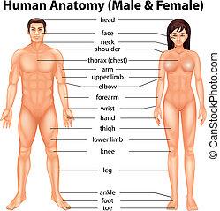 cuerpo despide, humano
