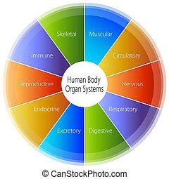 cuerpo, humano, gráfico, órgano, sistemas