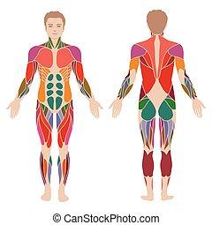 cuerpo, músculo