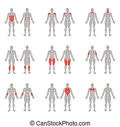 cuerpo, músculos, humano