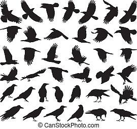 Cuervo carroñero de pájaro