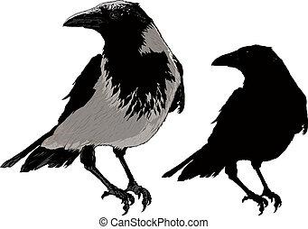 cuervos, negro