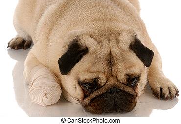 Cuidado veterinario. Perro con pañuelo en la pata