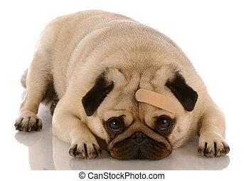 Cuidado veterinario, perro con venda en la frente