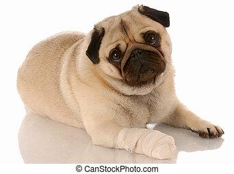 Cuidados veterinarios. Pug con pañuelo en la pata