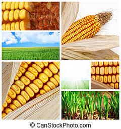 Curioso de maíz agrícola