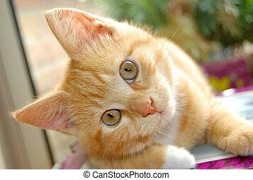 curioso, gatito rojo