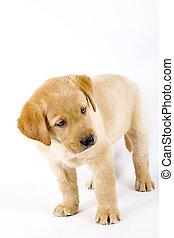 Curioso Labrador Labrador crema en blanco fondo