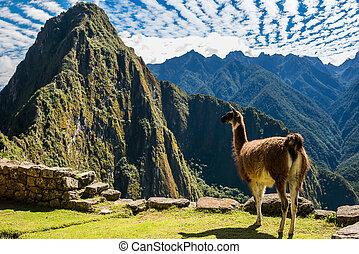 cuzco, andes, ruinas, llama, peruano, machu picchu, perú