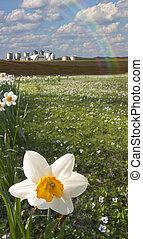 Daffodils y granja