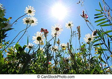 Daisy Flower en verano con cielo azul