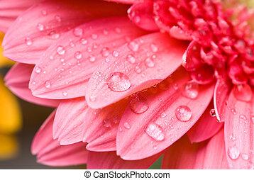 Daisy-gerbera rosa con gotas de agua aisladas en blanco