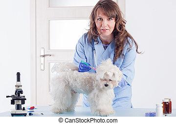 dar medicina, mujer, perro, sonriente, veterinario