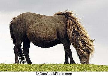 dartmoor, poney