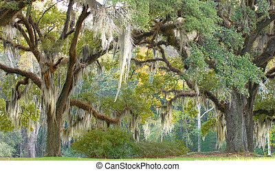 de, español, árboles, abajo, musgo, ahorcadura, ramas