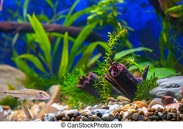 decorativo, minnows, plantas, acuario, verde, snags, hogar