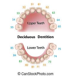 dental, leche, notación, dientes