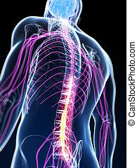 destacado, médula espinal