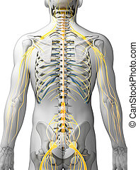 destacado, nervio, sistema