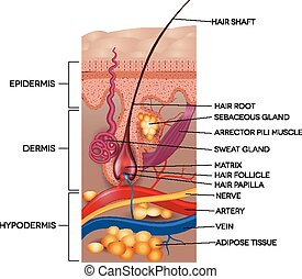 detallado, anatomy., illustration., médico, pelo, rotulado, piel