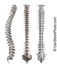 detallado, recorte, intervertebral, espina dorsal, -, discos, trayectoria