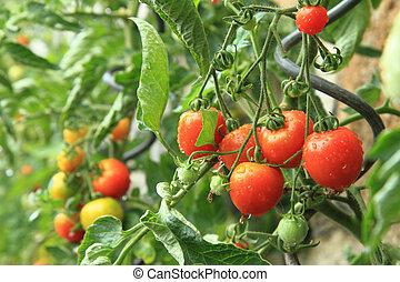 Detalles de granja, plantas de tomate