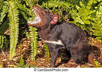 diablo tasmaniano, gruñir