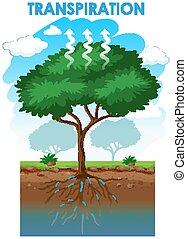diagrama, actuación, árbol, transpiration