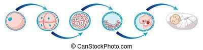 Diagrama celular de bebé recién nacido