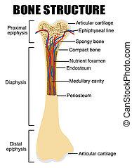 Diagrama de anatomía ósea humana