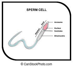 Diagrama de anatomía de células humanas