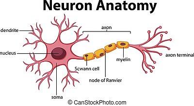 Diagrama de anatomía neuronal