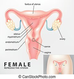Diagrama de reproducción femenina