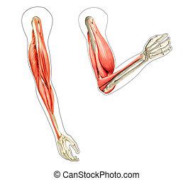 diagrama, músculos, d, ilustración, actuación, brazos, anatomía, fondo., mientras, 2, humano, digital, huesos, blanco, flexing.