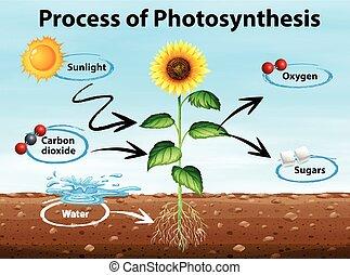 Diagrama muestra proceso de fotosíntesis