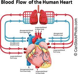Diagrama que muestra flujo sanguíneo de corazón humano