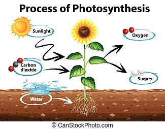 Diagrama que muestra girasol y proceso de fotosíntesis
