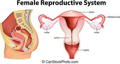 Diagrama que muestra un sistema reproductivo femenino