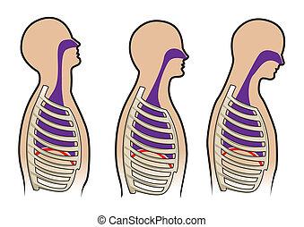 diagrama, respiración, humano, vector