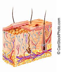 diagrama, sección, piel humana