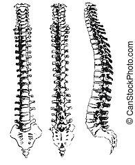 dibujado, segmentos, mano, espinal