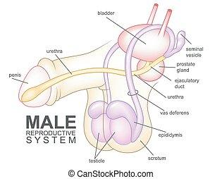 Dibujos del sistema reproductivo masculino