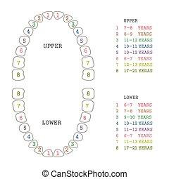 diente, dientes humanos, gráfico