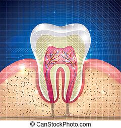 diente, sección, cruz