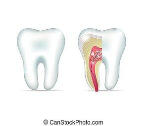 Dientes blancos saludables y sección de cruz del diente