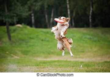disco volador, gracioso, perro, rojo