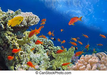 Disparos de coral vívidos con peces, Mar Rojo, Egipto.