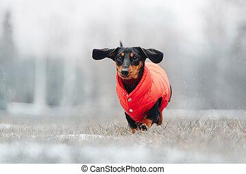 divertido, chaqueta roja, perro de perro salchicha, aire libre, corriente