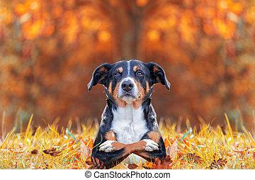 divertido, cruz, acostado, brazos, hojas, perro, otoño