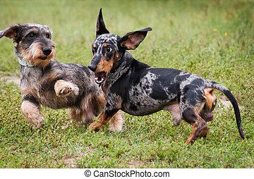 divertido, juego, dos, dachshund, perros